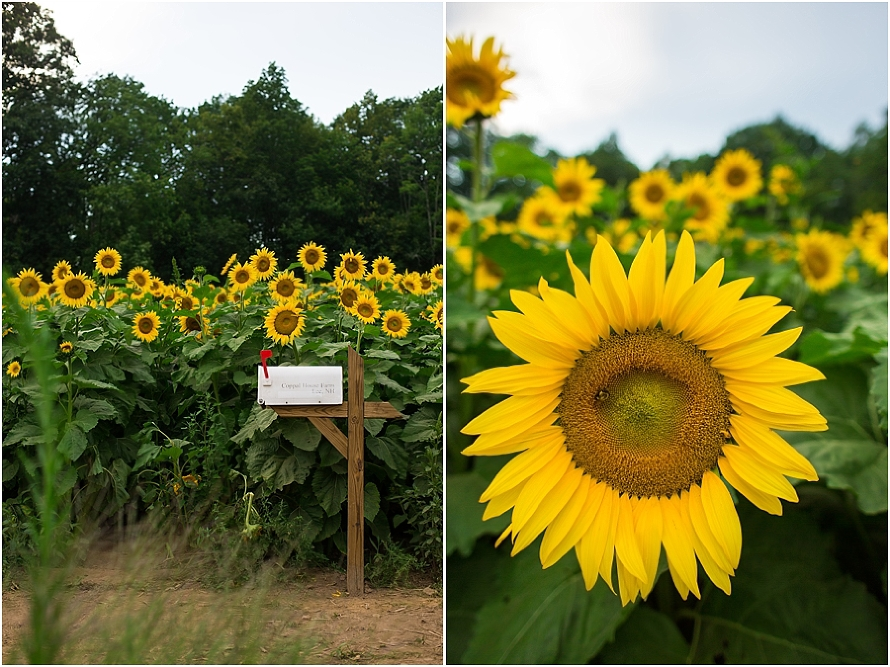 sunflowers, sunflower field, new hampshire, landscape, flower photography
